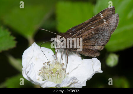 Sưu tập Bộ cánh vẩy 2 - Page 30 Dusted-skipper-atrytonopsis-hianna-nectaring-from-blackberry-rubus-sp-blossom-rkb932