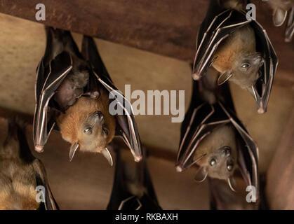 Lesser Dog-faced Fruit Bat, Cyneropterus brachyotis, Mother with juvenile - Stock Photo