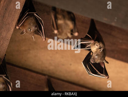 Lesser Dog-faced Fruit Bat, Cyneropterus brachyotis, hanging in a roof - Stock Photo
