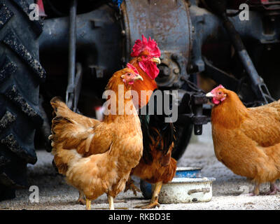 Rooster with hens, poultry,domestic fowl, Gallus gallus domesticus - Stock Photo
