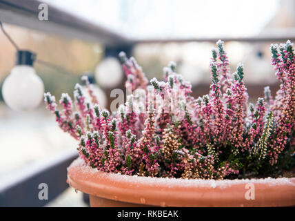 Pink heather flower growing in terracotta color garden pot, outdoors on terrace in winter, covered with white frost.
