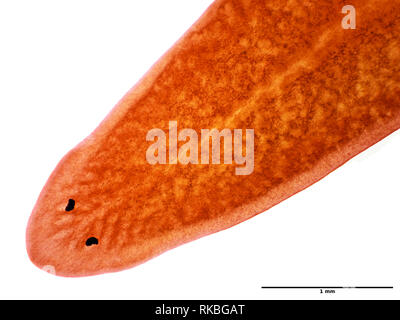 Planaria worm under the microscope, field of view is approximately 3mm wide - Stock Photo