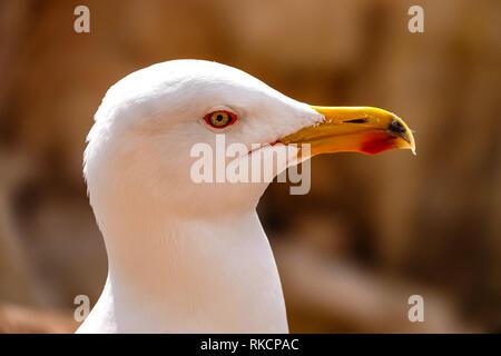 Yellow-legged Gull - Larus michahellis - summer adult, Calpe, Spain - Stock Photo