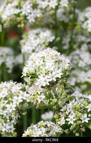 Allium tuberosum. Garlic chives in flower. - Stock Photo