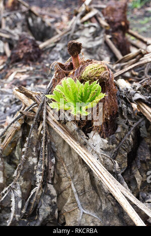 Gunnera manicata leaves emrging from decaying plant material. - Stock Photo