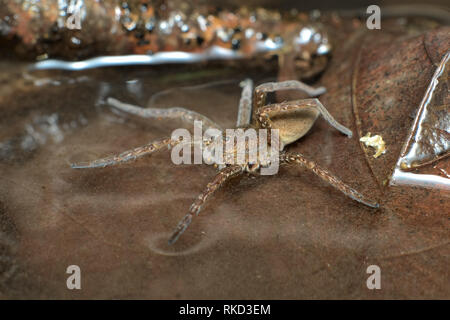 A semi-acquatic great or fen raft spider (Dolomedes plantarius) hunting its prey walking on the surface of water between brown dead leaves in a swamp - Stock Photo