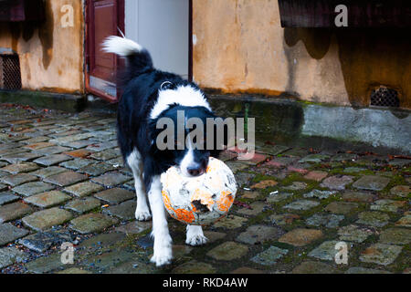 Black and white dog wanting to play with a football - Stock Photo