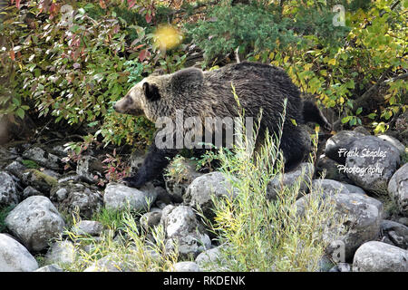 Female grizzly bear teaching two cubs how to search for berries - Stock Photo