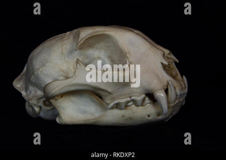 Bobcat Skull with Large Fangs in Opened Mouth Isolated on a Black Background - Stock Photo