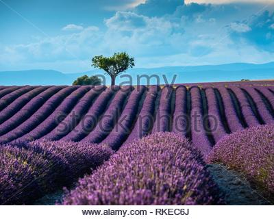 Lavender fields Valensole Plateau Forcalquier Alpes-de-Haute-Provence Provence-Alpes-Cote d'Azur France. - Stock Photo