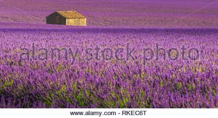 Lavender fields Puimoisson Valensole Plateau Forcalquier Alpes-de-Haute-Provence Provence-Alpes-Cote d'Azur France. - Stock Photo