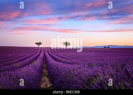 Lavender fields in the early morning Valensole Plateau Forcalquier Alpes-de-Haute-Provence Provence-Alpes-Cote d'Azur France. - Stock Photo