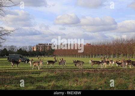 Hampton Court Palace, London, UK. 11th February, 2019. UK weather: A Park Ranger provides supplemental food pellets to some of the resident herd of 300 deer in Home Park following the end of a spell of harsh weather. Home Park, Hampton Court Palace, East Molesey, Surrey, England, Great Britain, United Kingdom, UK, Europe. Credit: Ian Bottle/Alamy News Live - Stock Photo