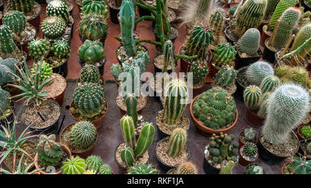Big variety of cactus on the table in botanic green house top view - Stock Photo