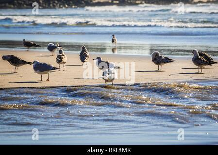 Flock of sea gulls on a beach of Nevogilde district in porto city, Portugal. - Stock Photo