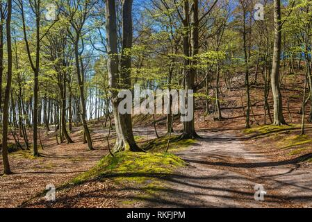 Beech trees in Landscape Park area over Baltic Sea in Orzechowo village in Pomeranian Voivodeship of Poland. - Stock Photo