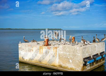 Chiquila port sea gulls and Pelicans in Quintana Roo Mexico. - Stock Photo