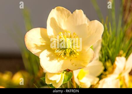 a blooming hellebore in a garden. - Stock Photo