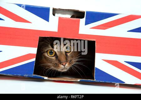 Cute wide-eyed part Abyssinian young male cat plays in a Union Jack marked cardboard box.