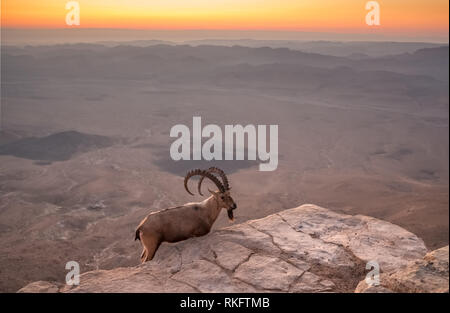 Wild ibex on the cliff at Ramon Crater at sunrise in Negev Desert in Mitzpe Ramon, Israel - Stock Photo