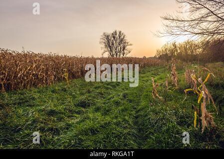 Corn fields in Witkowice village, Sochaczew County in Masovian Voivodeship of Poland. - Stock Photo