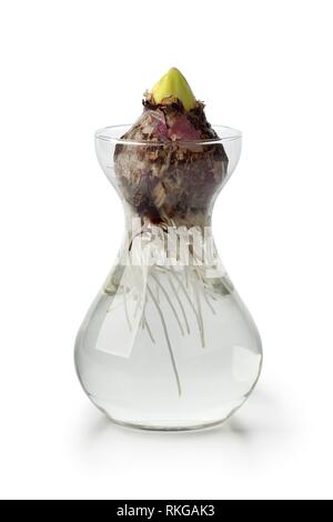 Hyacinth flower bulb starts growing in a glass vase. - Stock Photo