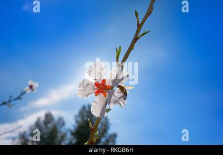Almond flower tree with bee pollination in spring at Mediterranean. - Stock Photo