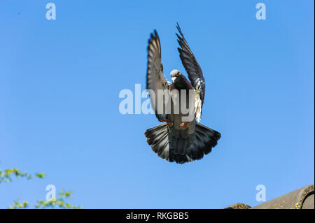 Landing of racing pigeon with wings and tail braking the speed - Stock Photo