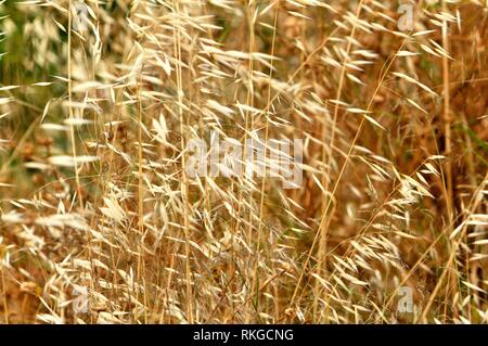 Avena fatua, species of grass in the oat genus. Fam. Poaceae. It is known as the common wild oat. Barcelona, Catalonia, Spain. - Stock Photo