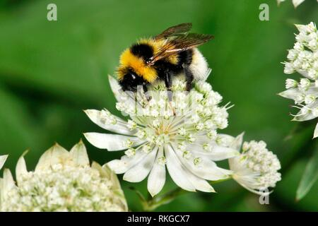 Bee on flowers of Astrantia sp. (fam. Apiaceae), Incles valley, Andorra, Europe. - Stock Photo