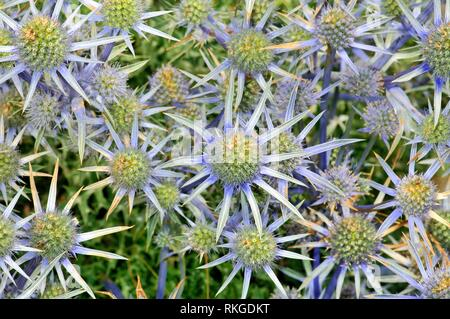 Flowers of Eryngium bourgatii. Mediterranean sea holly. Fam. apiaceae. Sorteny valley, Natural Park. Andorra. - Stock Photo
