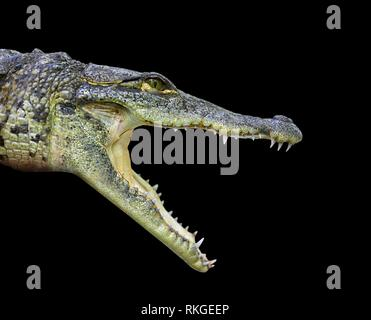 Crocodile young provile view from Mexico open mouth on black background. - Stock Photo