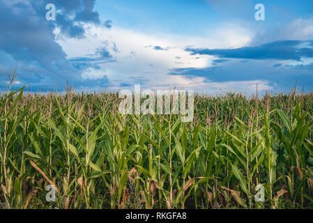 Corn field in Warmian-Masurian Voivodeship of Poland. - Stock Photo