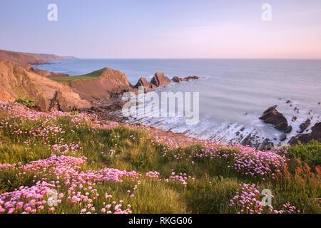 Flowering sea thrift at Hartland point Devon uk - Stock Photo