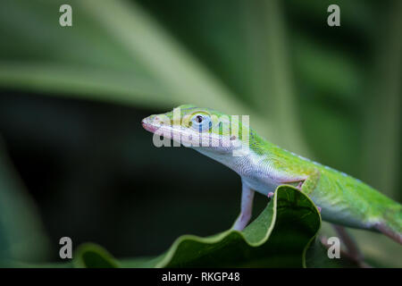 Green Anole Lizard (Anolis carolinensis) close-up - Stock Photo