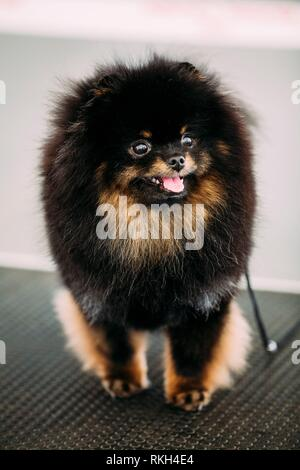 Smiling Black and Brown Pomeranian Spitz Small Puppy Dog. - Stock Photo