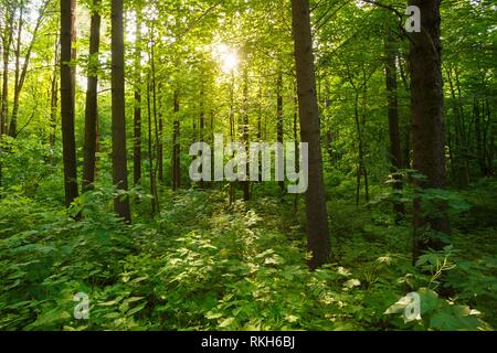 Spring Summer Sun Shining Through Canopy Of Tall Trees Woods. Sunlight In Deciduous Forest, Summer Nature. - Stock Photo