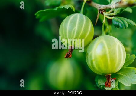 Fresh Green Gooseberries. Growing Organic Berries Closeup On A Branch Of Gooseberry Bush. Ripe Gooseberry In The Fruit Garden. - Stock Photo