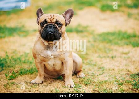 French Bulldog Dog In Park Outdoor. - Stock Photo