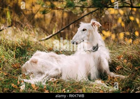 White Russian Wolfhound Dog, Borzoi, Russian Hunting, Russkaya Psovaya Borzaya, Psovoi. - Stock Photo