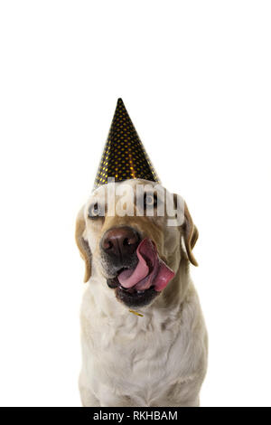 DOG NEW YEAR OR BIRTHDAY PARTY HAT. FUNNY LABRADOR LINKING WITH TONGUE WITH GOLDEN POLKA DOT CAP. ISOLATED STUDIO SHOT ON WHITE BACKGROUND. - Stock Photo
