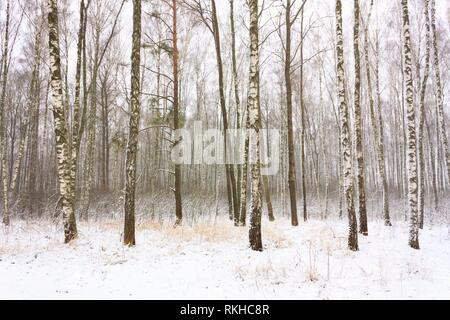 Birch Woods Forest Grove In Winter. Russian Nature. - Stock Photo
