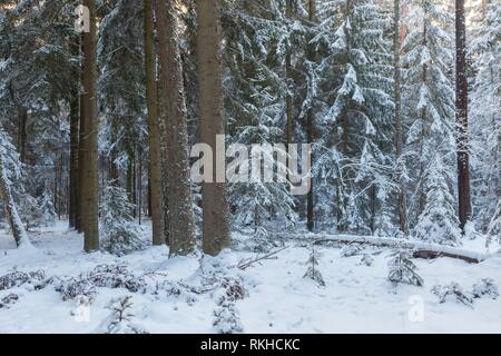 Winter landscape of coniferous stand in sunset light with young spruces snow wrapped,Bialowieza Forest,Poland,Europe. - Stock Photo