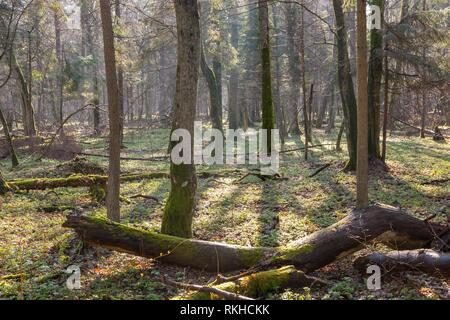 Springtime at old natural forest with dead tree trunk lying in foreground, Bialowieza Forest, Poland, Europe. - Stock Photo