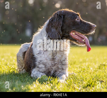 Springer spaniel laying down on the long grass in a field looking to the side. - Stock Photo