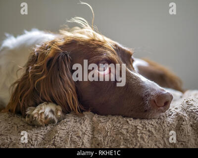 Springer Spaniel head shot, lying down on a blanket  looking up. - Stock Photo