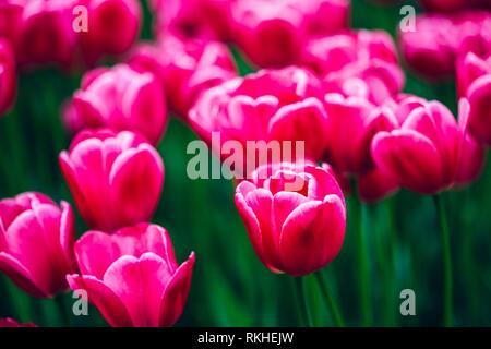 Pink Flowers Tulips In Spring Garden Flower Bed. - Stock Photo