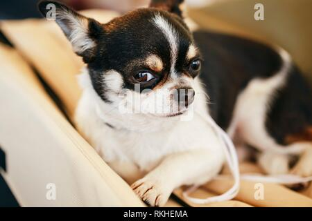 Chihuahua Dog, 1. 5 Years Old, Sitting On A Pet Bed And Looking At Camera. - Stock Photo