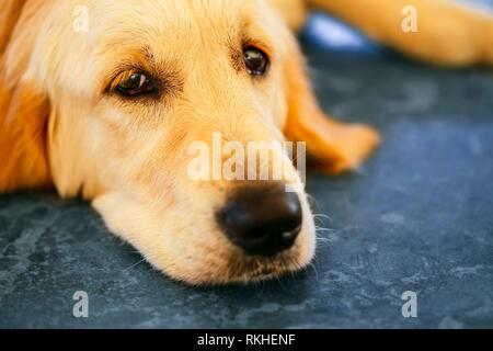 Lost Homeless Hungry Golden Labrador Retriever Dog â. ‹â. ‹Sleeping On Cold Floor. - Stock Photo