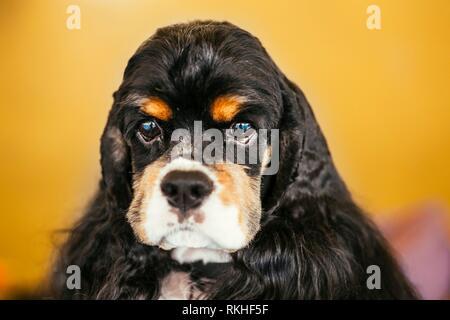 American Cocker Spaniel Dog Close Up Portrait. - Stock Photo